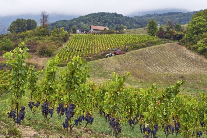 At Domaine Belluard in Savoie's Ayze cru, harvesters pick the rare Gringet grape variety, while Mondeuse ripens on the single-stake vines ('en échalas'). Photo by Mick Rock