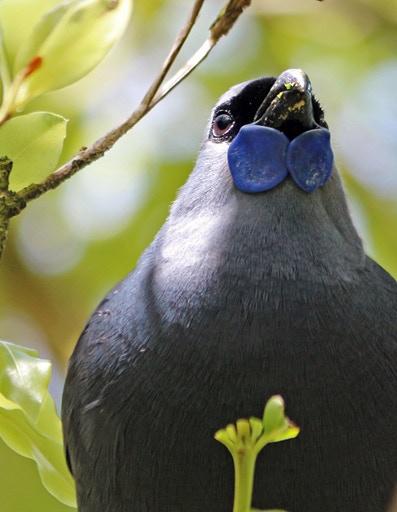 Threatened, North-Island Kokako