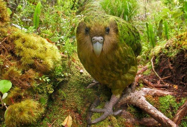 The endangered Kakapo