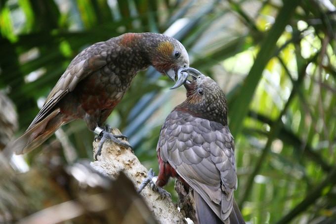 Two endangered Kaka playing
