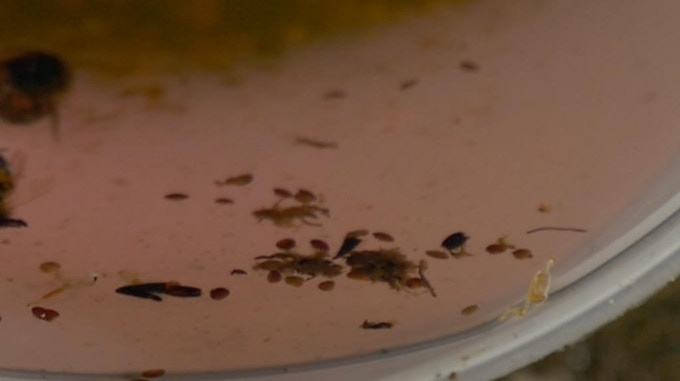 Varroa floating in alcohol