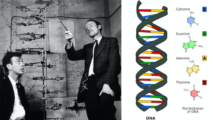 Watson and Crick used physical models to discover uncover the structure of DNA, which lead to one of the most important discoveries in the history of science: that DNA carries the human blueprint.
