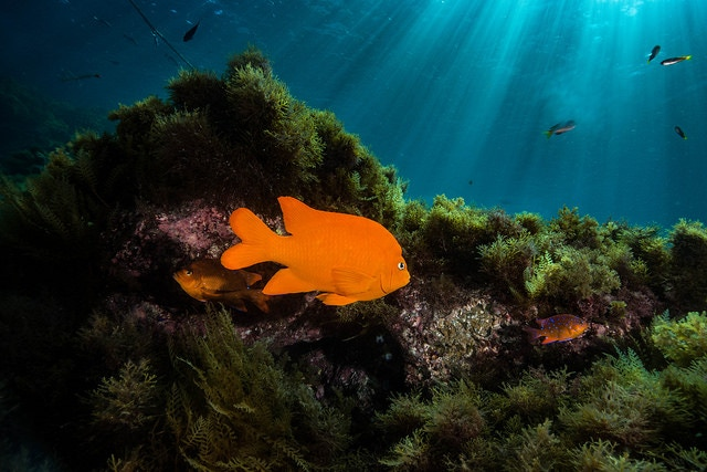 Garibaldi, such as the one pictured here, and many other species of fish will be counted.
