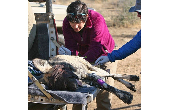 Holly collecting samples from an African Wild Dog in Namibia.