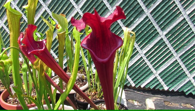 Sarracenia 'Royal Ruby'