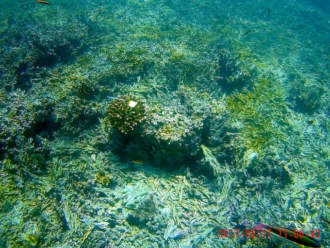 Lone coral among dead coral rubble, San Pedrito, Sector Marino. ACG