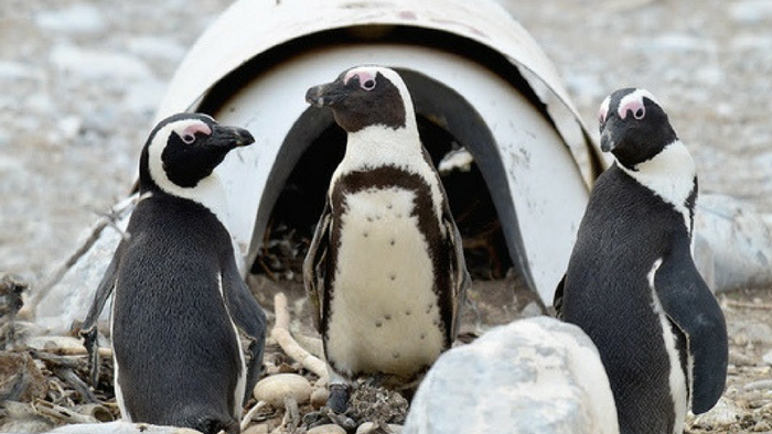 Artificial nests for endangered African penguins that could help a species facing extinction.