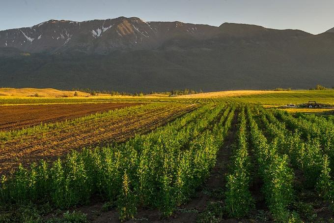 Prairie Creek Farm in Joseph, Or.  where the quinoa grows