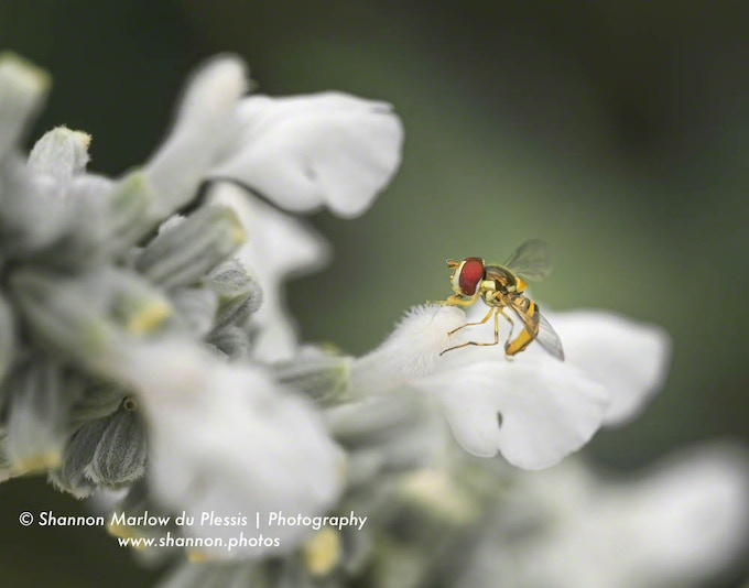 This tiny hoverfly is no bigger than the fingernail on my pinkie--one of the reasons I love macro photography.