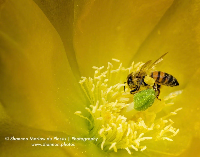 A bee pollinates a Texas prickly pear cactus flower. See the full pollen basket on its leg?