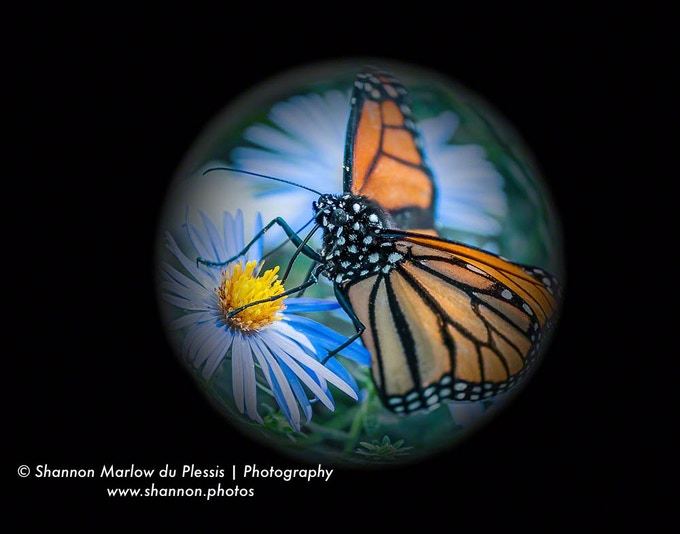 I post-processed one of my Monarch butterfly photos into a globe.