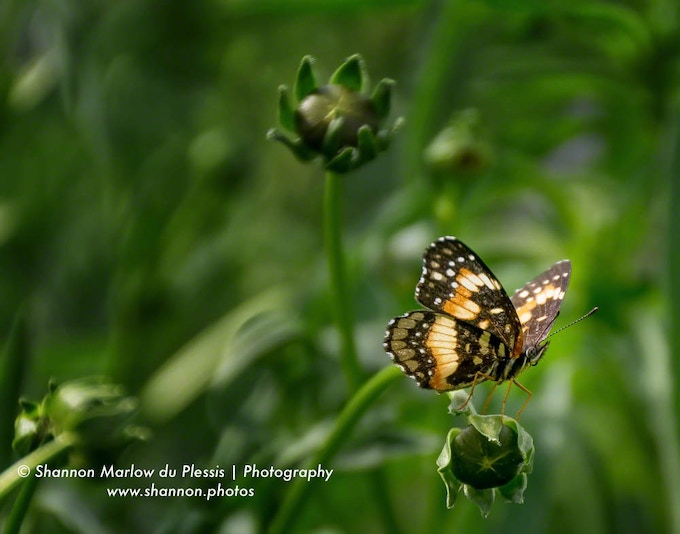 Wind is a challenge. I captured this Bordered Patch butterfly on a blustery spring day.