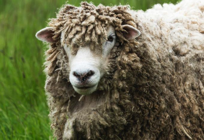 A Merino Sheep