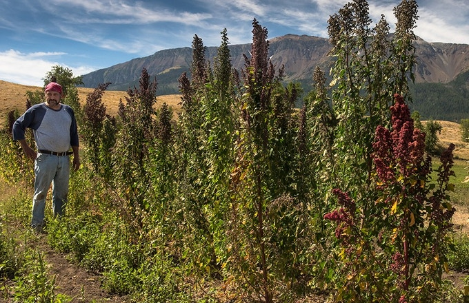 Ted stands among some mighty fine Eagle Cap Quinoa plants