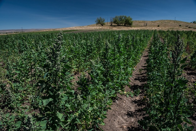 A healthy Eagle Cap Quinoa field a few weeks before the plants turn colors and then dry up