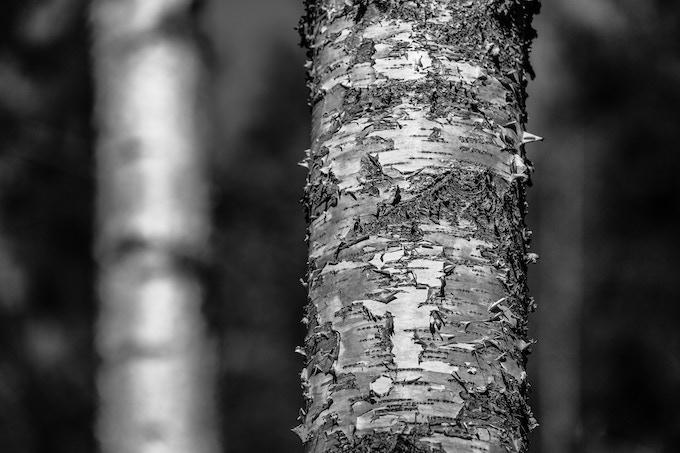 Bark of the Birch