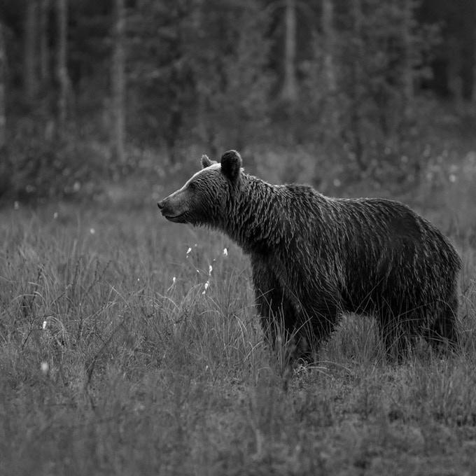 Stealth Bear