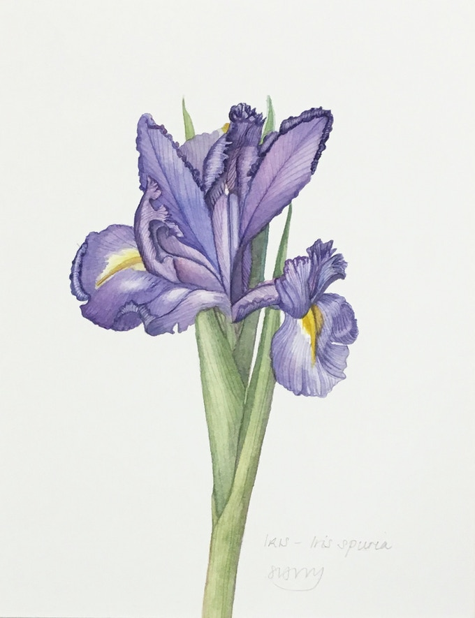 Iris (NOT AVAILABLE)