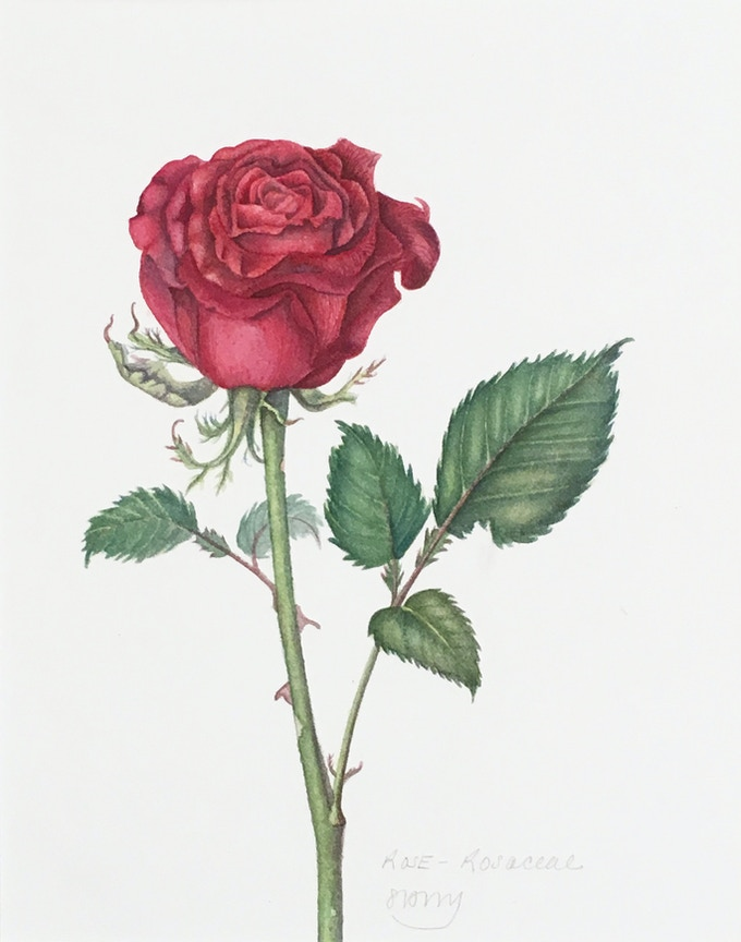 Rose (available)