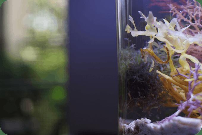 PJ reefs 2.0 Mini Seahorse (Close-Up)