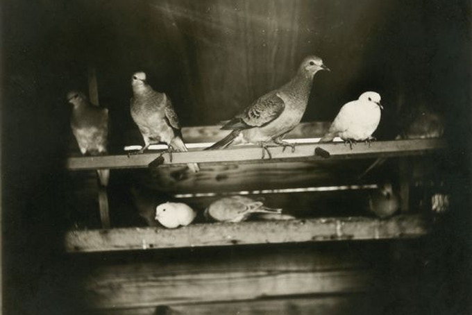 Group of captive passenger pigeons, 1896. Credit: Wisconsin Historical Society
