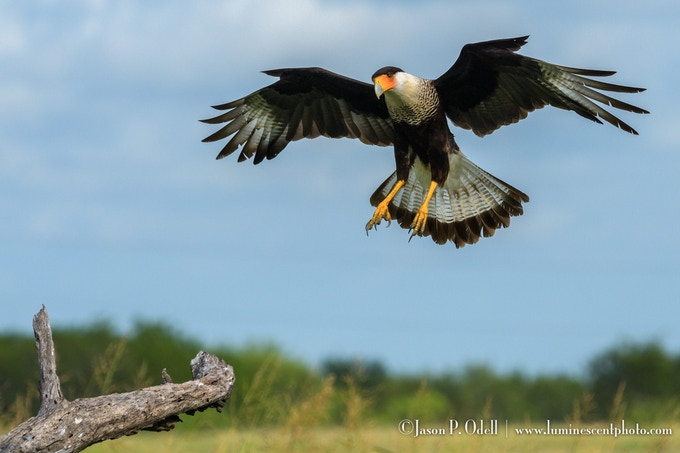 Crested caracara, captured hand-held with a 300mm f/2.8 lens and the (BIF) BullsEye