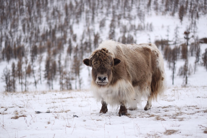 Chillin' with his yak wool coat!