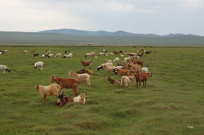 A herd of sheep and goats enjoying the summer
