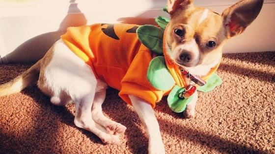 A Chihuahua Enjoying His Life in South Florida 2018 Calendar