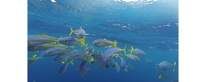 The tuna school who followed me across the Pacific