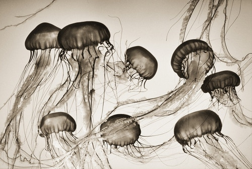 Brown Sea Nettles