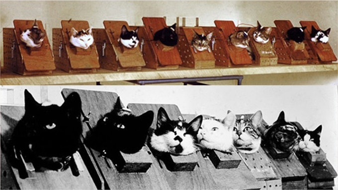 The cats in training harnesses. Félicette on bottom right.