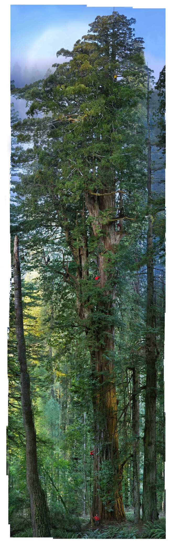 Scientists estimate that this tree is at least 1500 years old. This is the first seamless photograph of an entire Californian redwood tree. © Michael Nichols / National Geographic