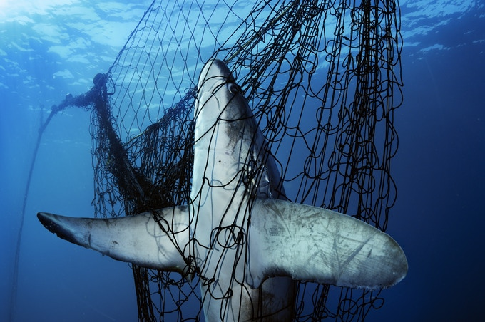 A thresher shark caught in a gillnet in Mexico's Sea of Cortez. Tens of millions of sharks die each year as victims of fishing by-catch or to satisfy the demand for shark fin soup.  © Brian Skerry