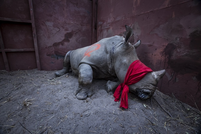 A young white rhinoceros translocated from South Africa waits to be released as part of a major operation to return rhinos to Botswana. © Neil Aldridge