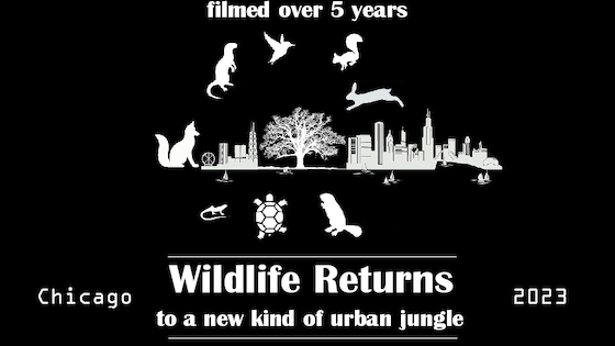 Documentary: Wildlife's return to a new Midwest Jungle.