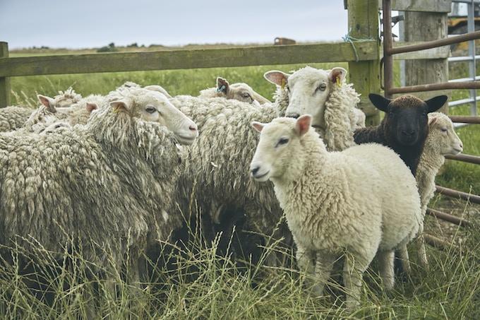 Original Photo signed by a Sheep