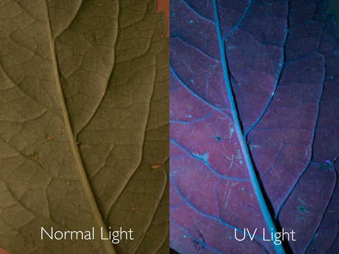 The same leaf under Normal and UV light