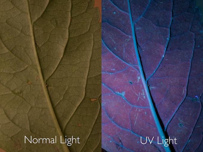 The same leaf under Normal and UV light