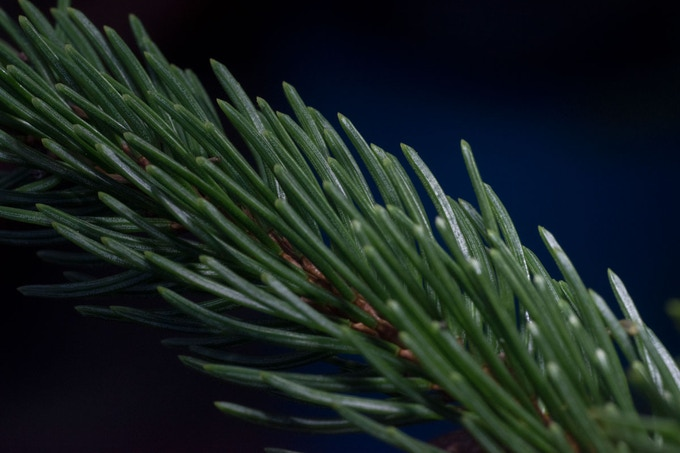 A pine tree branch shot outdoors with the Arm-s