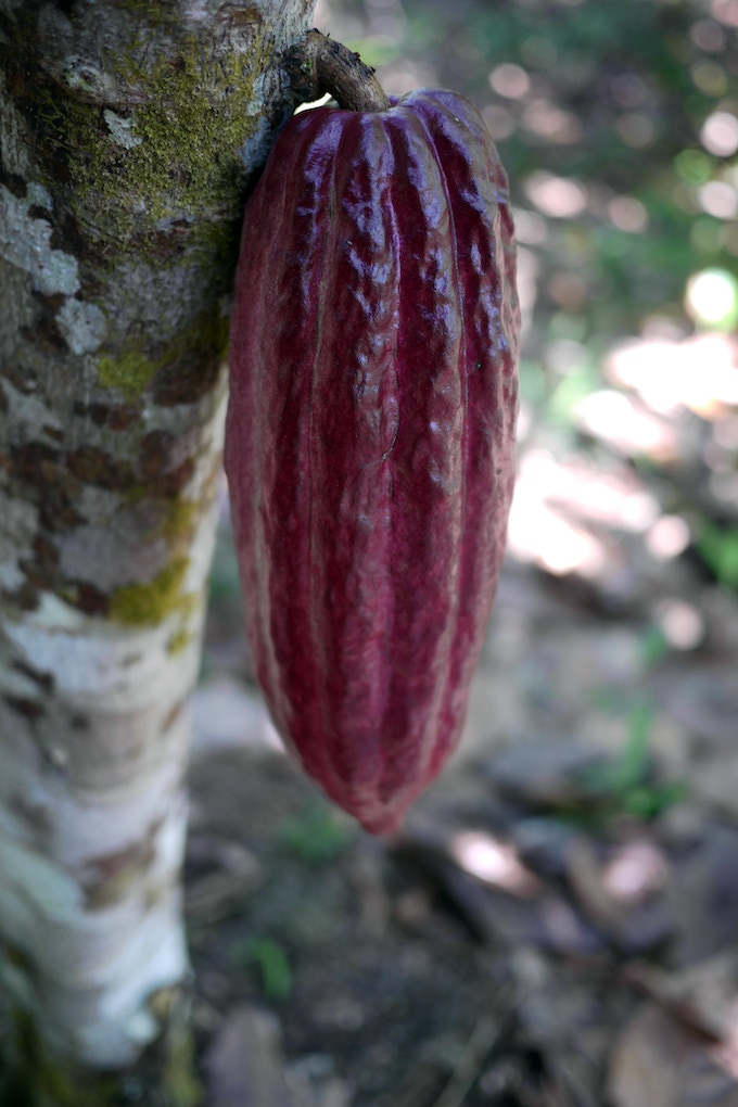 cacao fruit/pod
