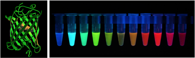 Variety of fluorescent proteins which can be used with Bixels
