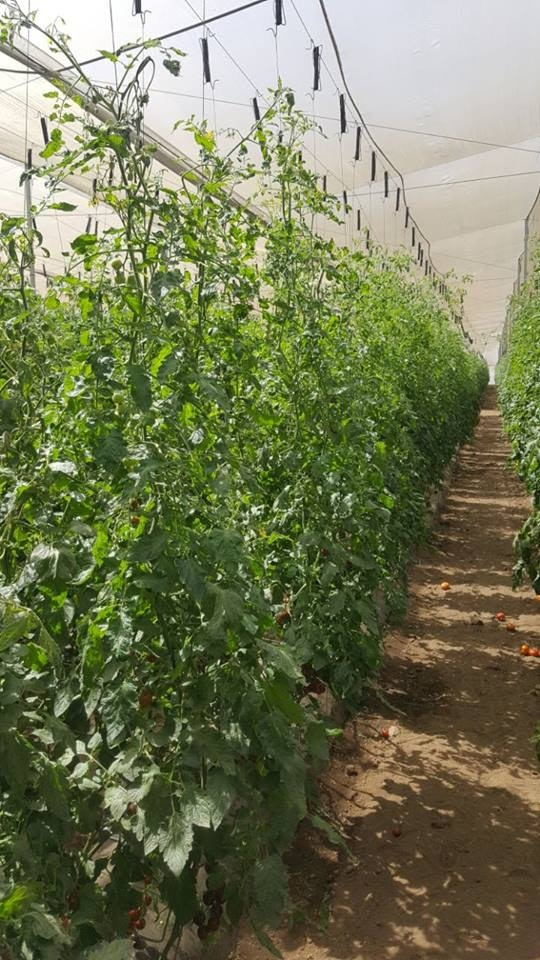 Madera tomatoes growing in an Heirloom Farms shade-house