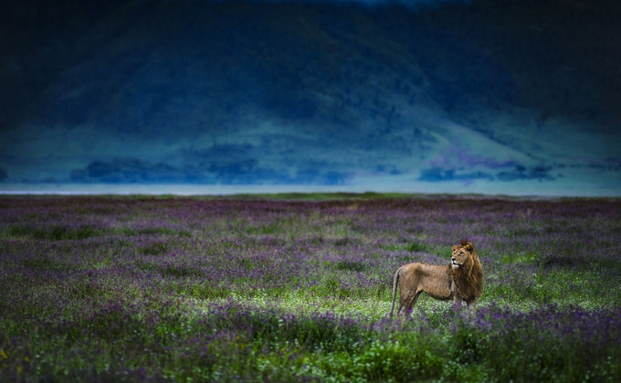 Lion in Ngorongoro Crater - Image by Chris Fischer