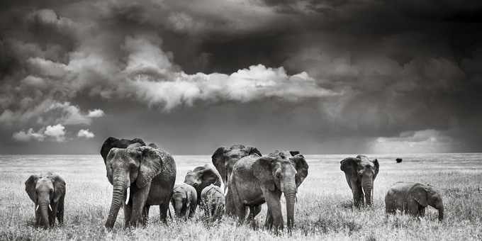 Elephants in the Serengeti - image by Chris Fischer Elephants in the Serengeti - image by Chris Fischer