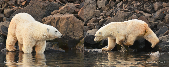 Polar bears on Franz Josef Land in search for food. They are actually sea mammals and not adopted to an ice free Ocean.