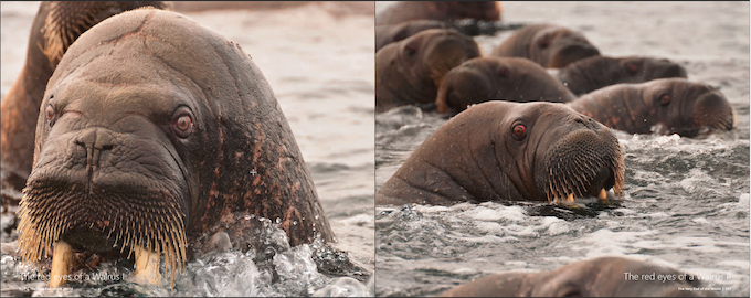 Walrus eyes are red with a billion years old glimpse of the Earth's Genesis.