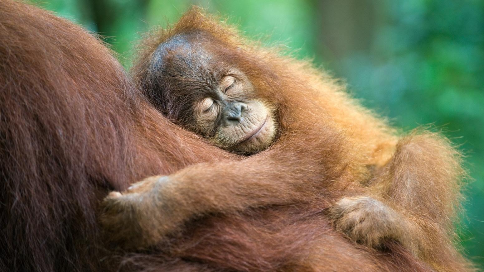 remembering great apes by margot raggett kickstarter
