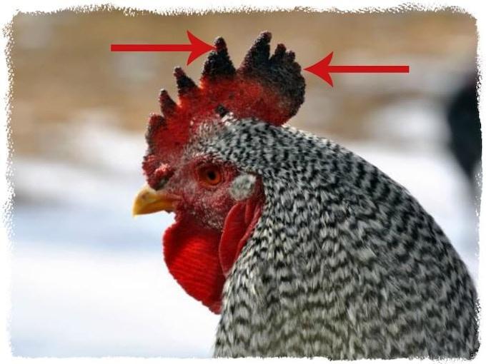 Frozen Comb (Credit: raising-happy-chickens.com)