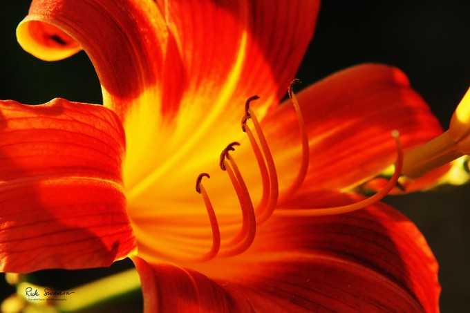 Donna's Lily